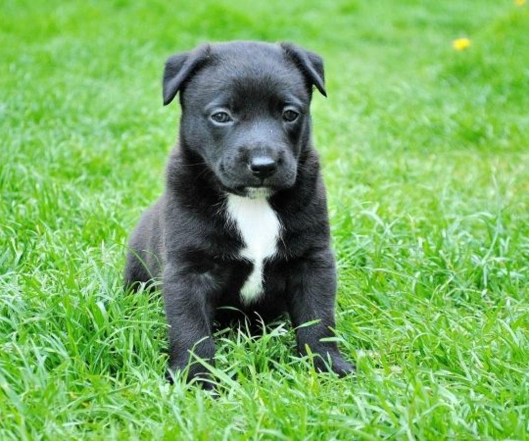 ¿Cuáles son las vacunas que tienes que poner a tu perro?