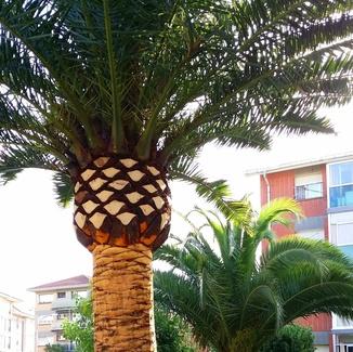 Poda de palmeras en Bizkaia ,Euskadi y comunidades limitrofes.