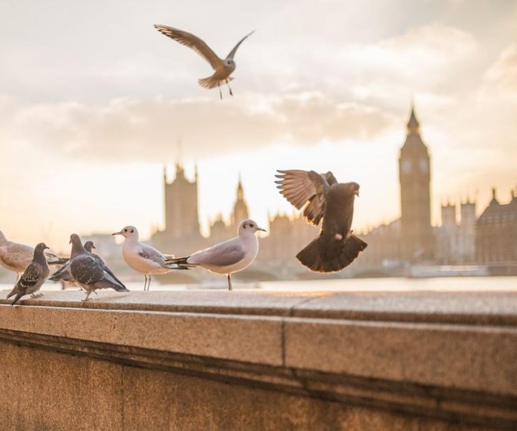 Los peligros de las palomas