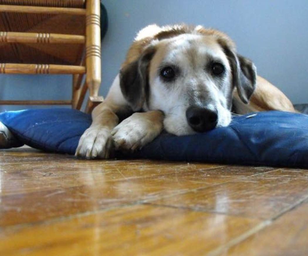 ¿Cuándo llevar a un perro a urgencias?