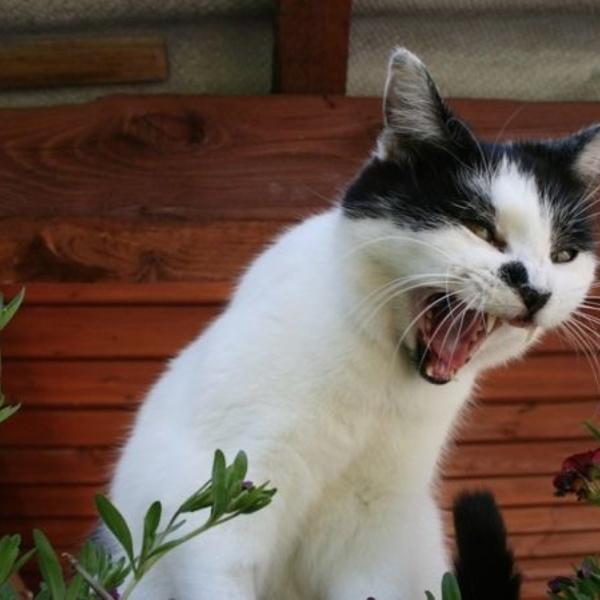 Algunos alimentos que son dañinos para los gatos