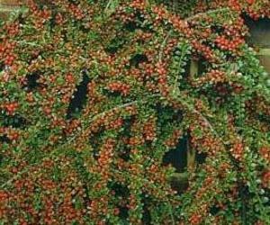 Cotoneaster horizontalis Ct. 3 L