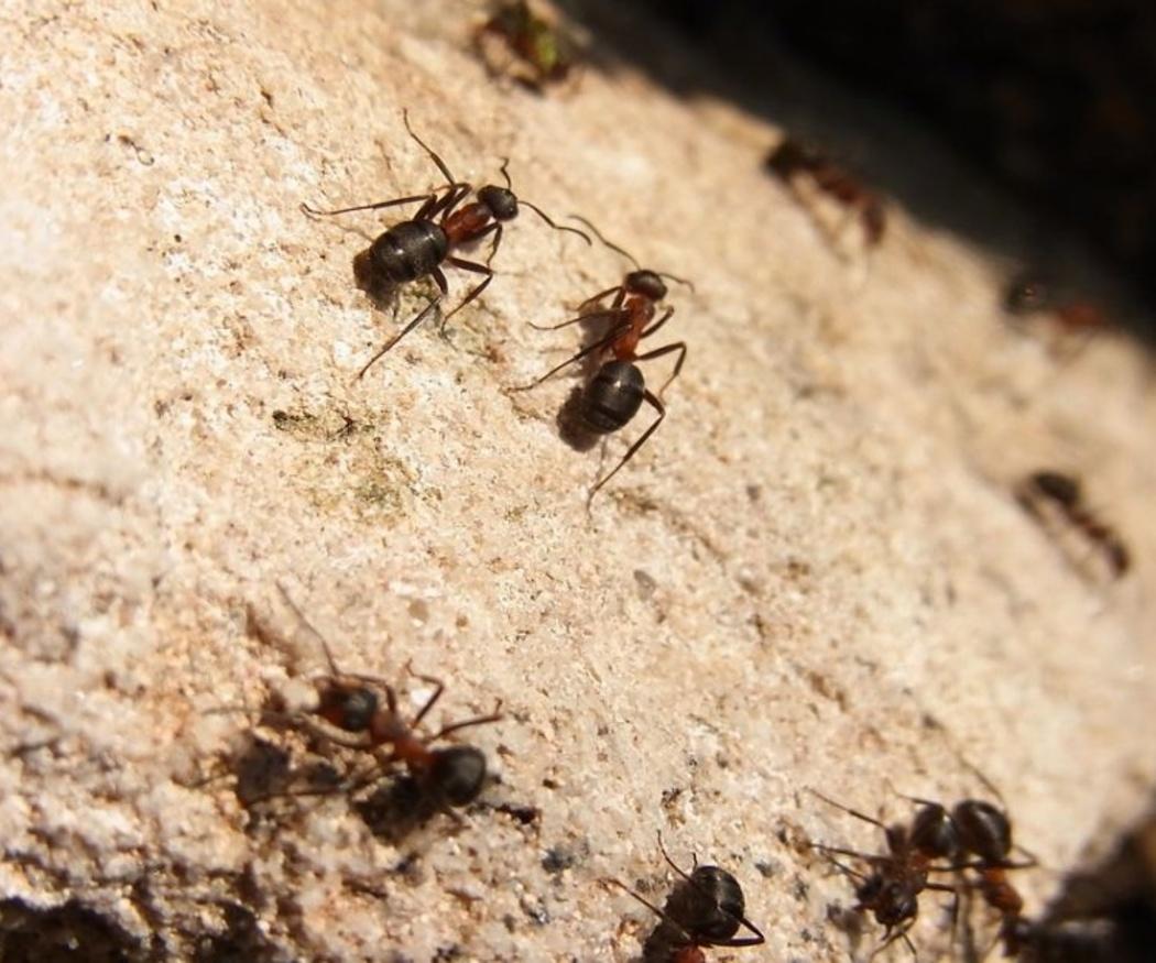 Eliminar rápidamente las hormigas que invaden tu despensa