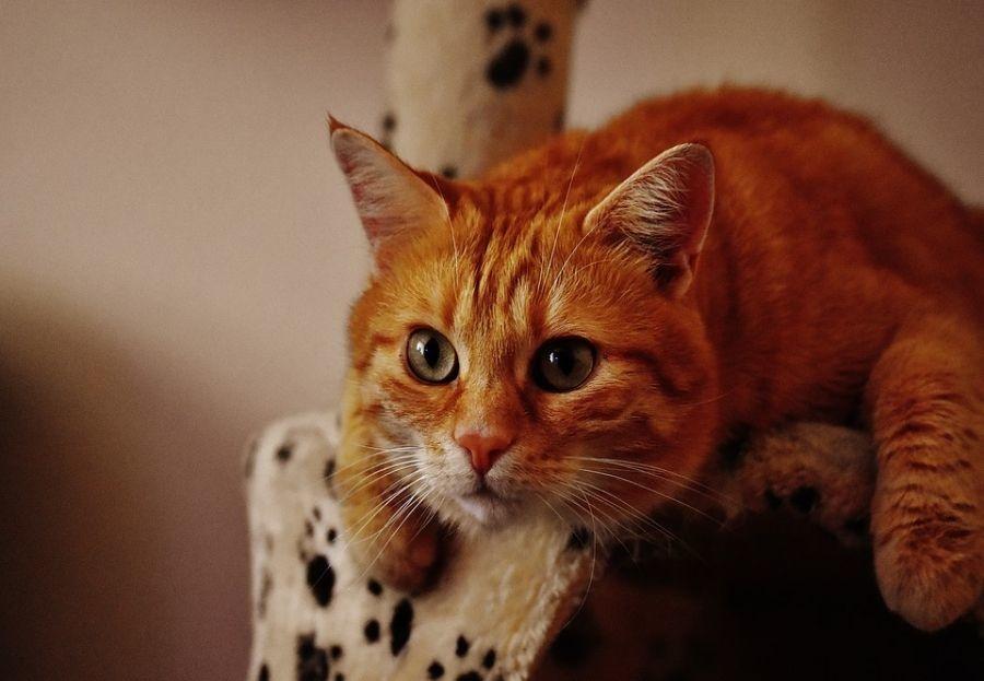 Tres trucos para que tu gato use su rascador