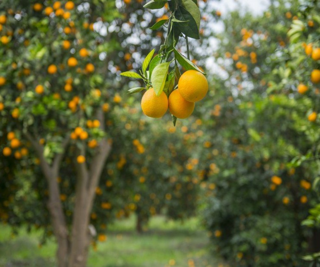 ¿Por qué es importante podar los árboles frutales?