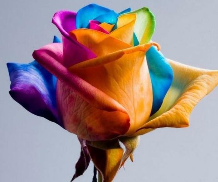Rosas Multicolor