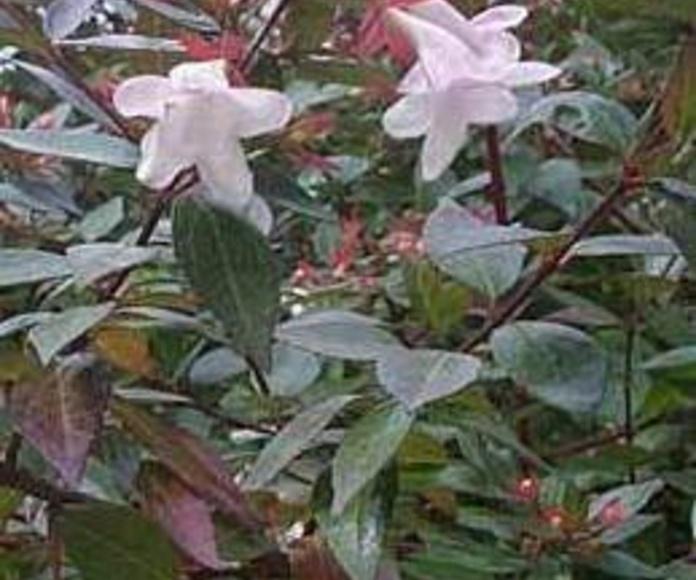 Abelia variegata Ct. 5 L: Productos y servicios de El Abeto