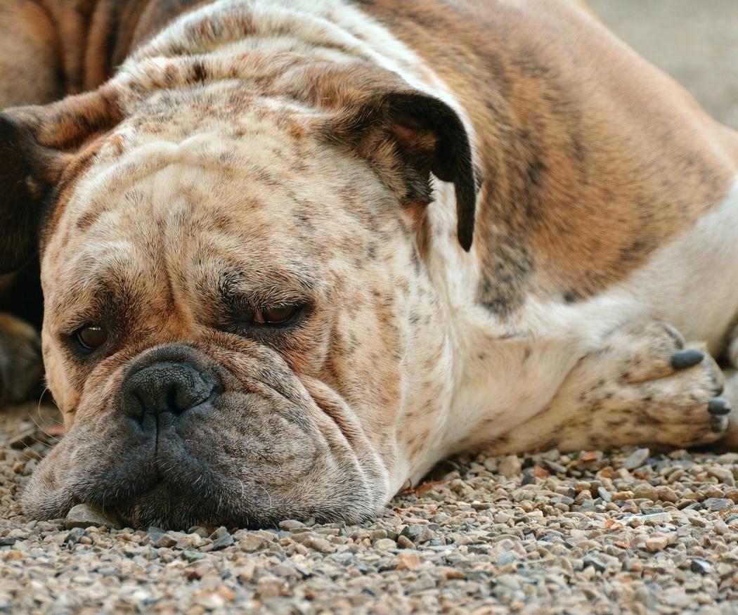 Cómo cuidar a nuestro perro anciano