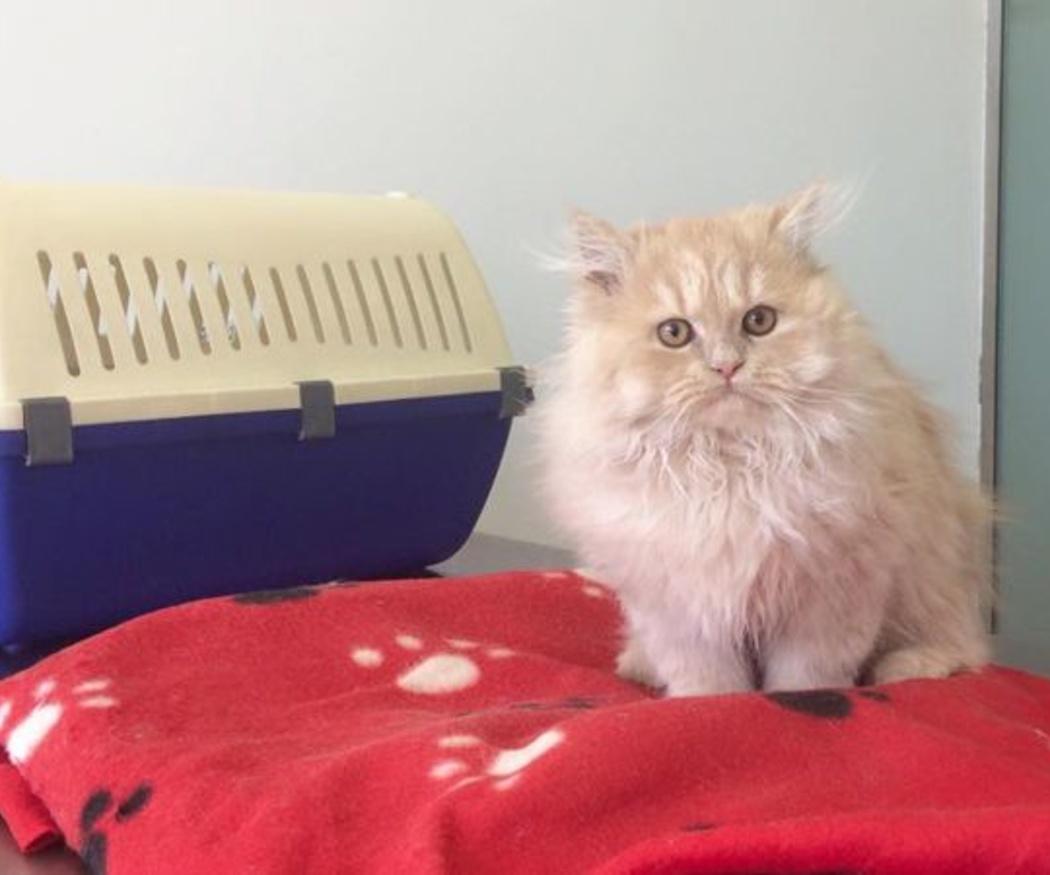 La importancia de cepillar el pelo a los gatos