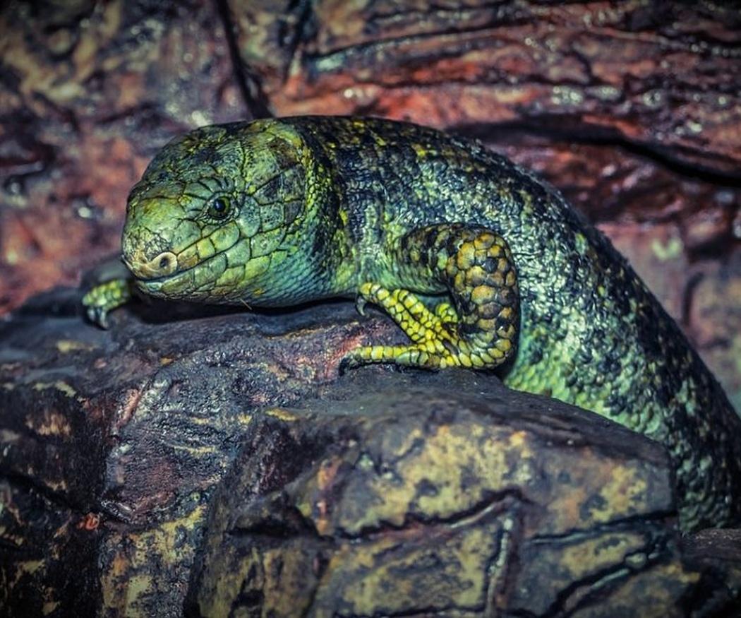 Cómo cuidar a los lagartos