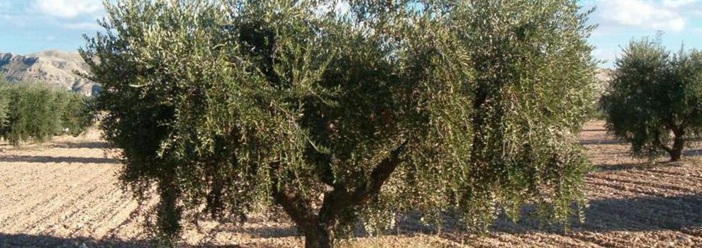 Viveros de olivos lleida for Viveros de olivos