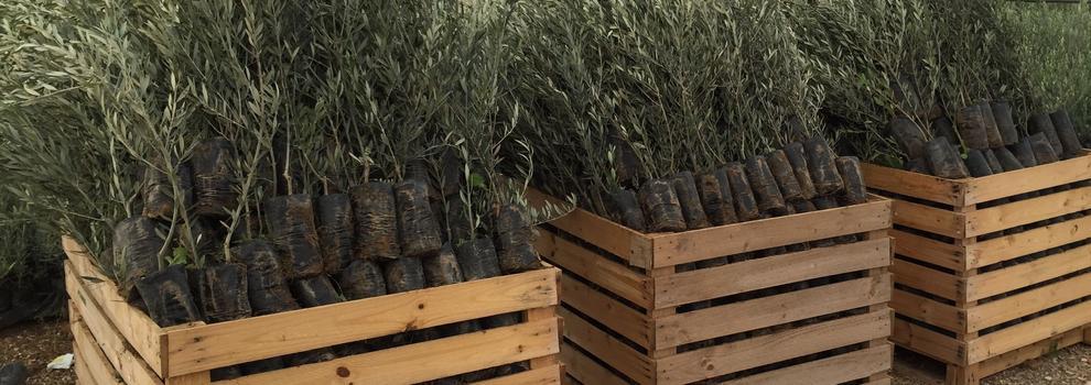 Viveros de olivos Córdoba