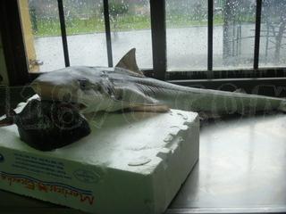 Tiburón Cazón