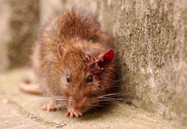 Eliminar ratas en asturias enfermedades que transmiten - Eliminar ratas en casa ...