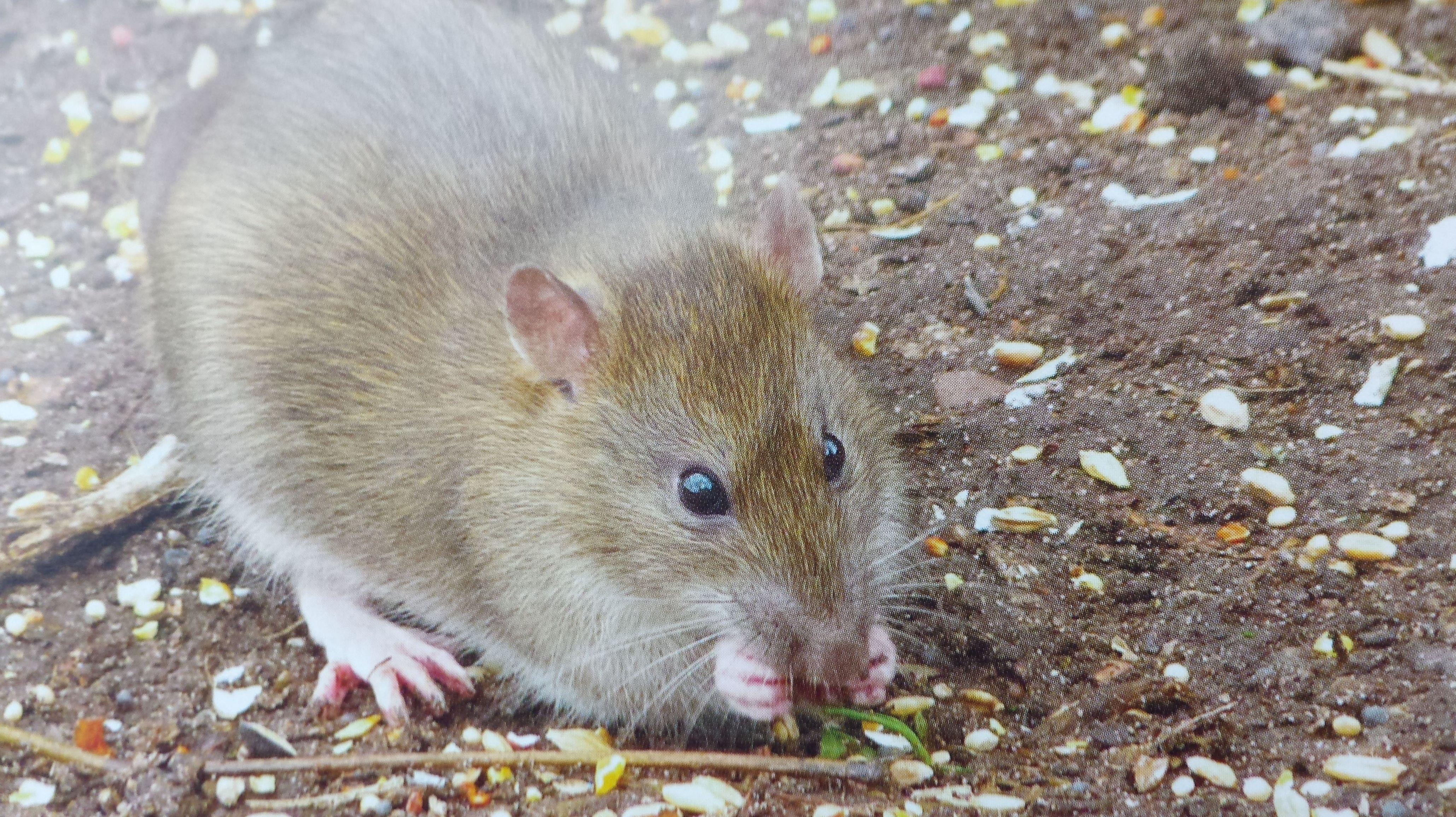 Eliminar ratones en madrid centro - Ratones en casa eliminar ...