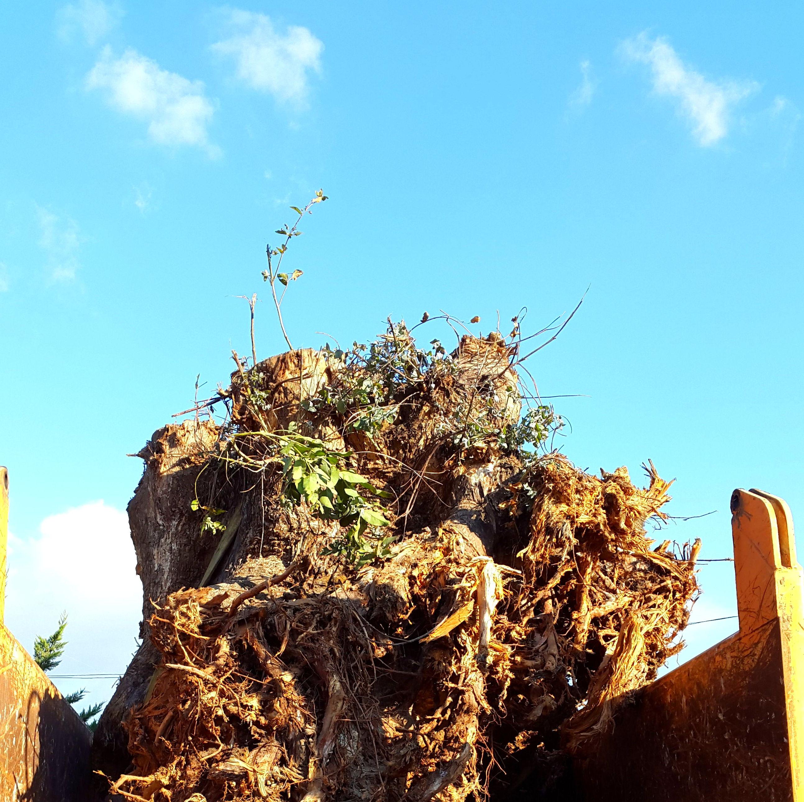 raiz de eucalipto