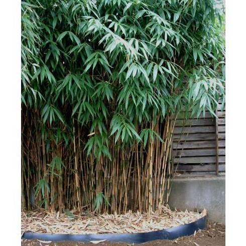 Bamb sasa japonica rbol productos de for Crea tu jardin