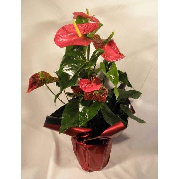 Anturio - Planta: Productos de Entrefloresyplantas.es