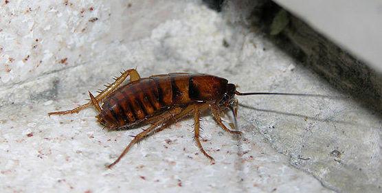 Eliminación de cucarachas