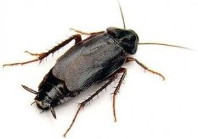Cucaracha oriental