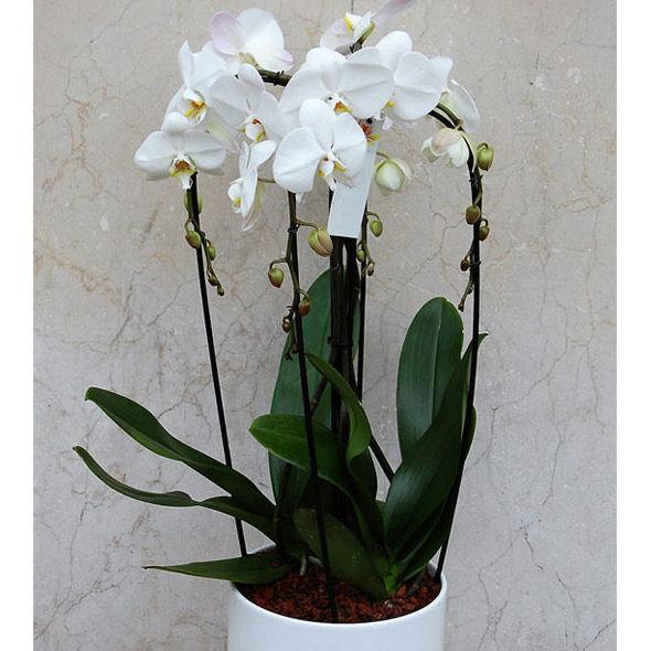 Orquídea phalenopsis de 4 varas
