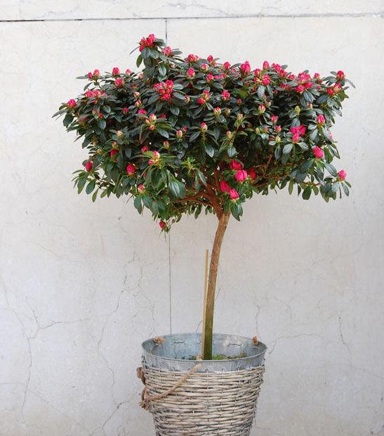 Azalea en árbol
