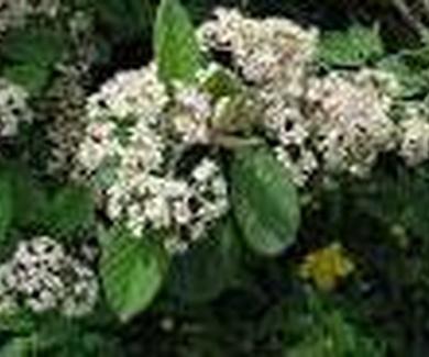 Cotoneaster coriaceus Ref. 12 ( Arbusto )