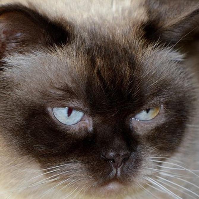 La importancia del cepillado de pelo en los gatos