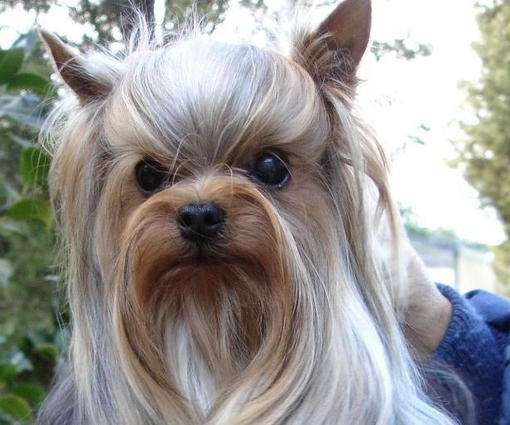 Yorkshire Terrier: carácter y características