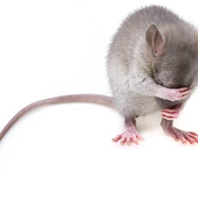 ¿Qué enfermedades pueden transmitir los ratones?