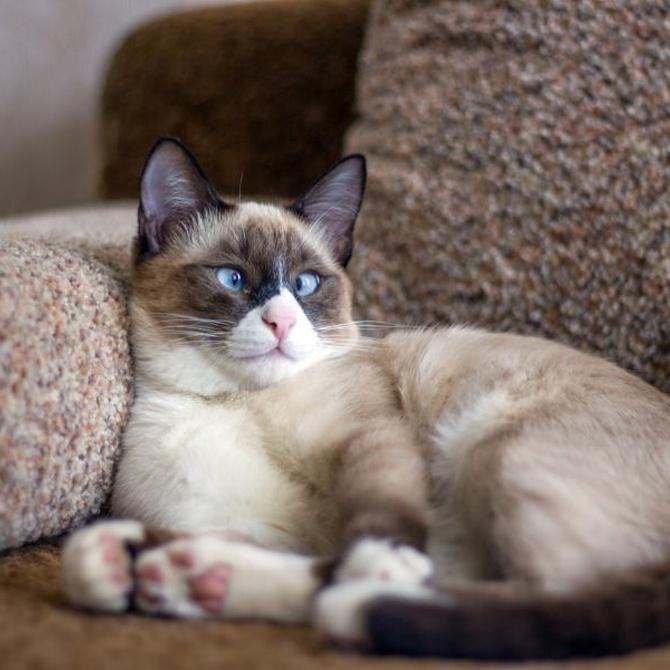 La vista en los gatos siameses