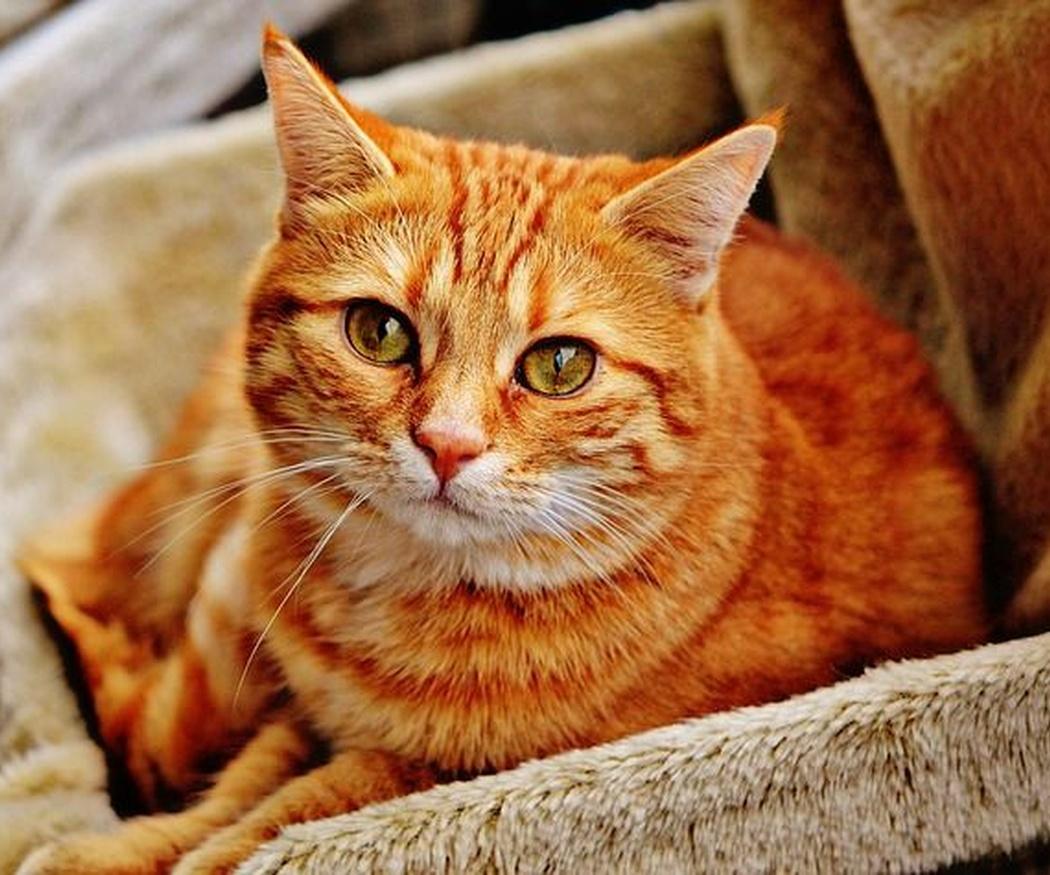 La esterilización en gatos