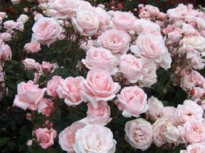 Rosal perfumado: Productos y servicios de El Abeto