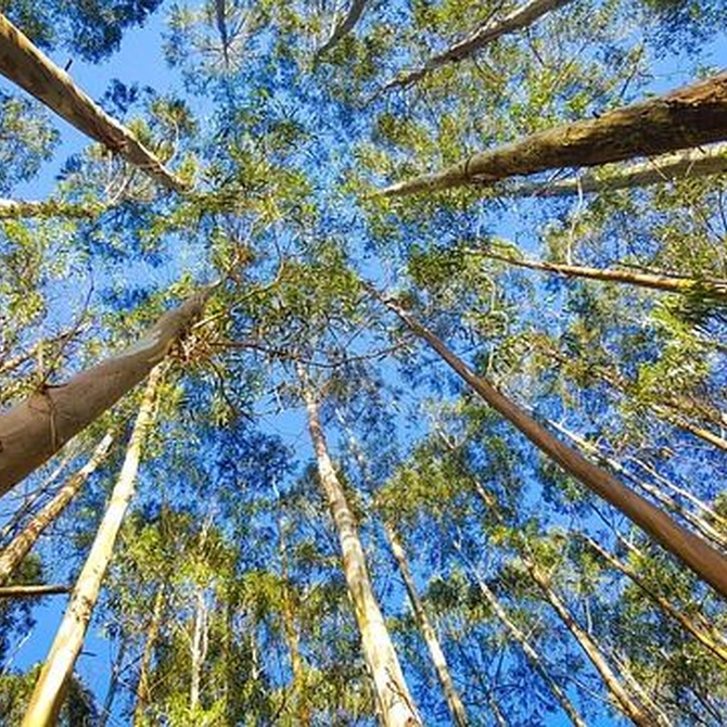 Características del eucalipto