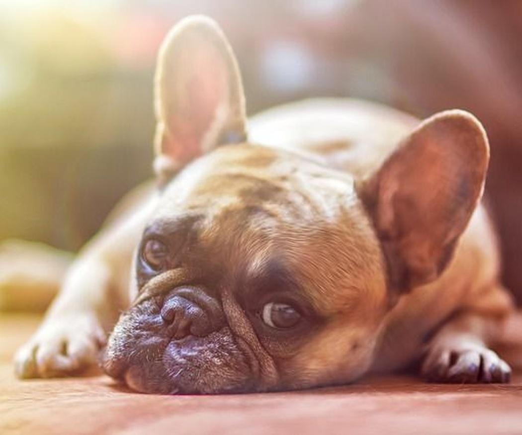 Las enfermedades víricas más comunes en los perros