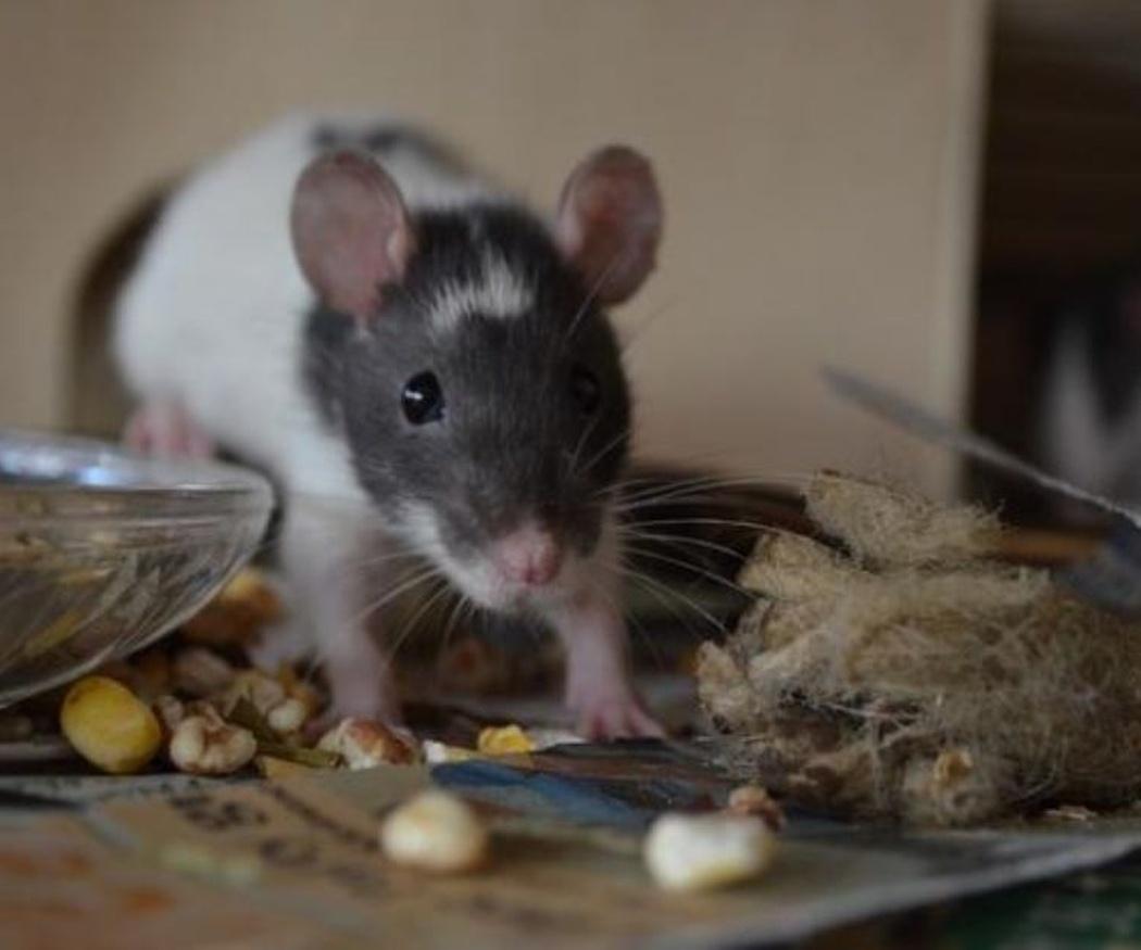 Los peligros para nuestra salud de una plaga de ratas