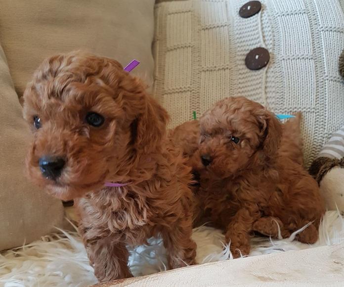Camadade Caniche Toy: Nuestros perritos de Criadero Pappo's Luz