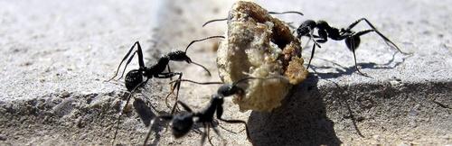 Control plagas de Hormigas