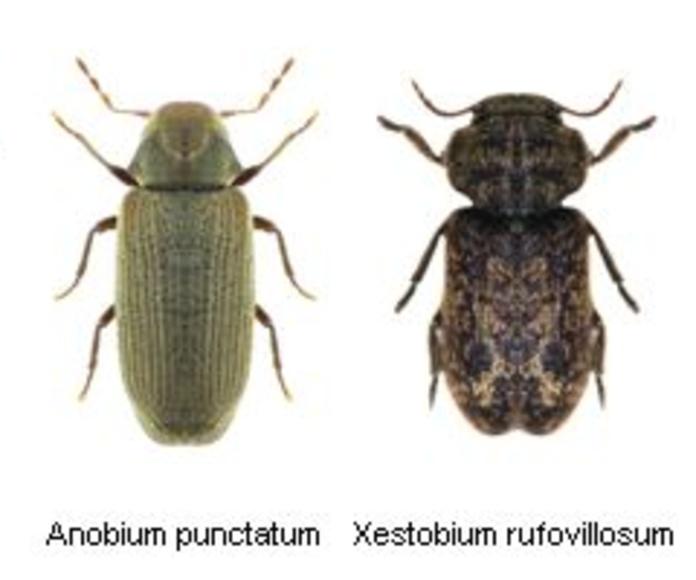 Tipos de coleópteros