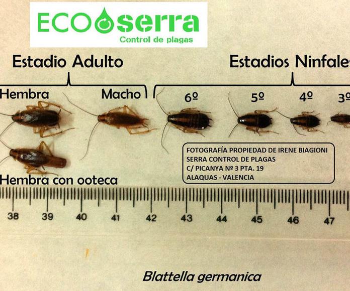 Cucarachas - Desinsectación: Servicios  de Ecoserra