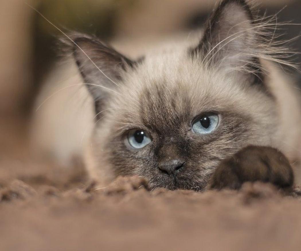 Tu gato quiere decirte algo