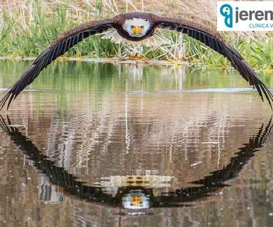 Foto perfecta Águila calva: Lugar adecuado y momento adecuado
