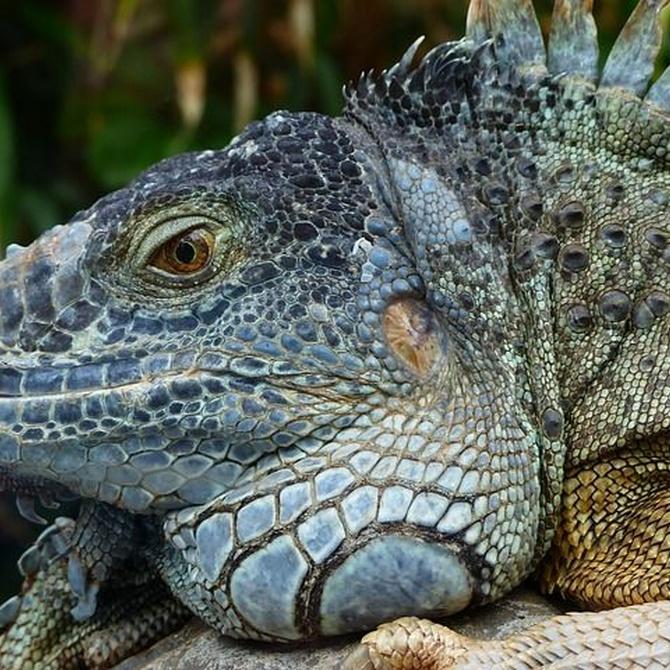 ¿Cómo debe ser la alimentación de una iguana?