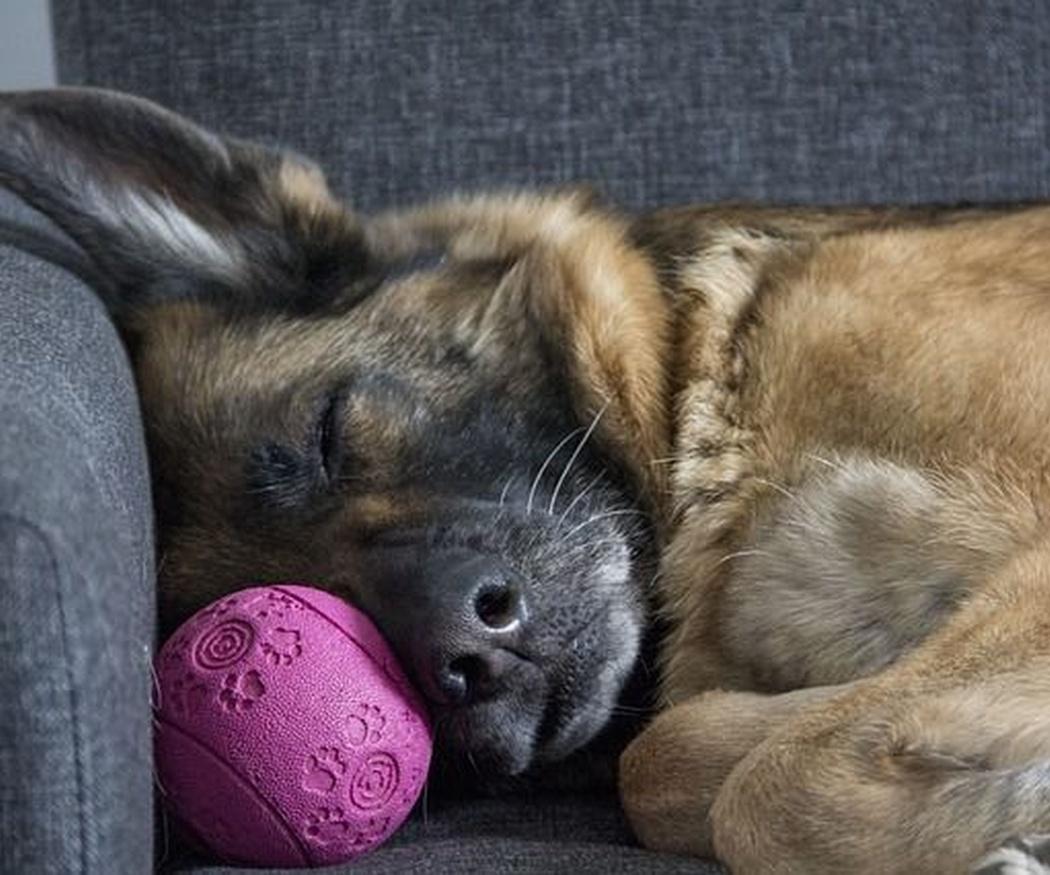 ¿Por qué a los perros les encanta la pelota?