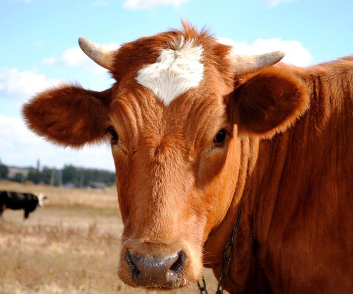 Piensos para vacuno: Productos y servicios de Piensos Fauna