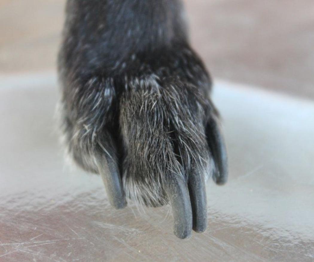Cuándo cortar las uñas de tu perro