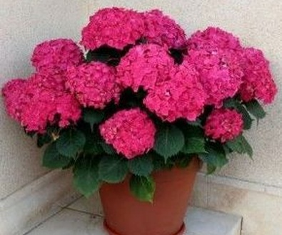 Hortensias en floresdalia.com