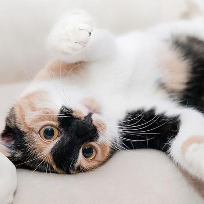 ¿Por qué es importante esterilizar a tu gato?