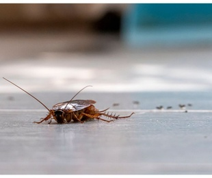 Cinco curiosidades sobre cucarachas que quizás no sabías