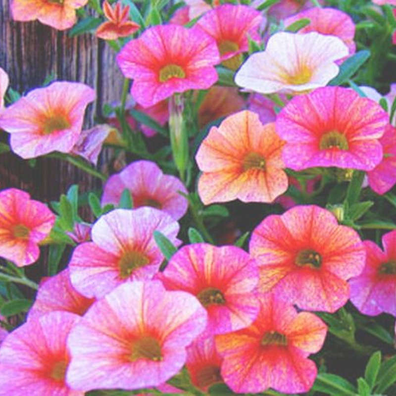 Petunias: Catálogo de De La Hoz Viveros